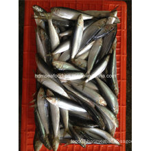 Fresh Frozen Sardine